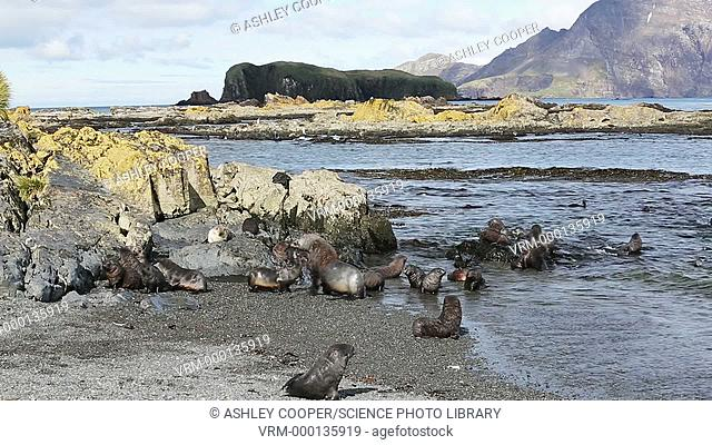 Antarctic Fur Seals (Arctocephalus gazella) pups and female playing in the shallows on Prion Island, South Georgia, Southern Ocean