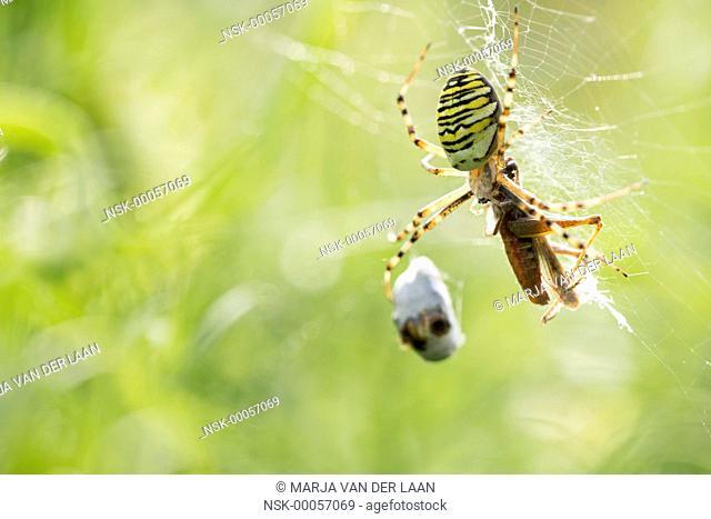 Female Wasp Spider (Argiope bruennichi) catching prey (Grasshopper) in her web, The Netherlands, Gelderland