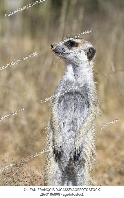 Meerkat (Suricata suricatta), adult male standing at the burrow, observing the surroundings, alert, Kgalagadi Transfrontier Park, Northern Cape, South Africa
