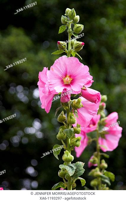 Pink hollyhocks stand proudly in a sunny spot