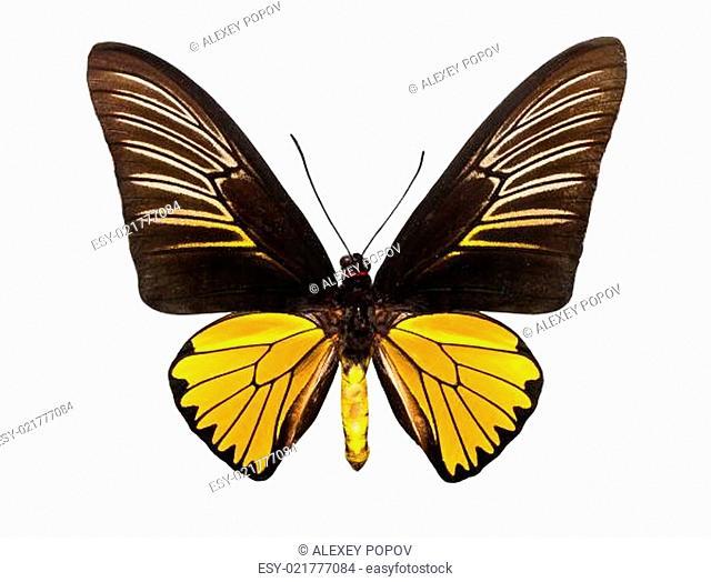 Butterfly Troides Magellanus