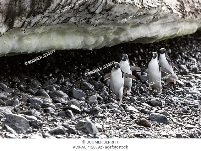 Adelie Penguins (Pygoscelis Adeliae) march along a pebble strewn beach under a snowfield at Brown Bluff on the Antarctic Continent, Antarctica