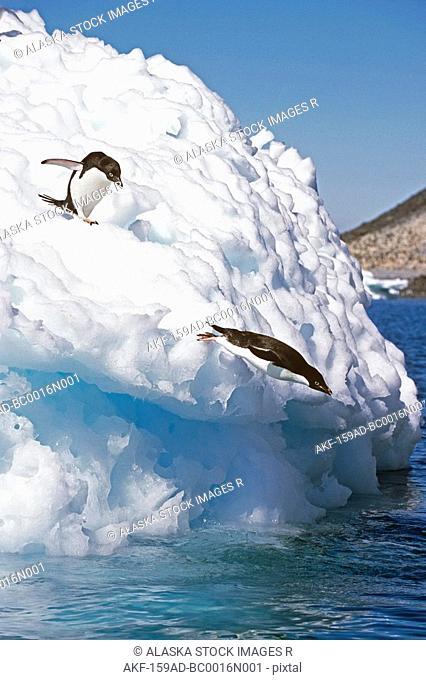 Adelie Penguins dive off iceberg into South Atlantic ocean Antarctica Summer