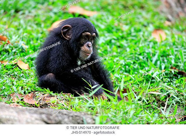 Chimpanzee, (Pan troglodytes troglodytes), young resting, Africa