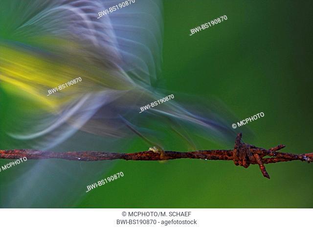 pine warbler (Dendroica pinus), taking off, USA, Florida