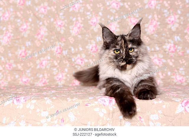 American Longhair, Maine Coon. Adult queen lying, seen against a floral design wallpaper