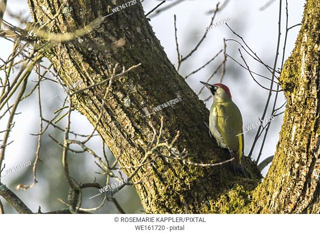A green woodpecker is sitting on a tree