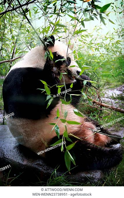 Pandas eat more than shoots and leaves One of Edinburgh Zoos Giant panda Tian Tian, based at RZSS Edinburgh Zoo, provides support – and poo (Scat) - to...