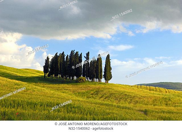 Cypress trees, San Quirico d'Orcia, Val d'Orcia, Siena Province,Tuscany, Italy