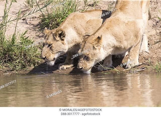 Africa, Southern Africa, South African Republic, Mala Mala game reserve, savannah, Lion (Panthera leo), female, drinking