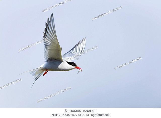 Arctic tern (Sterna paradisaea) in flight with a sandeel; Orkney Scotland UK