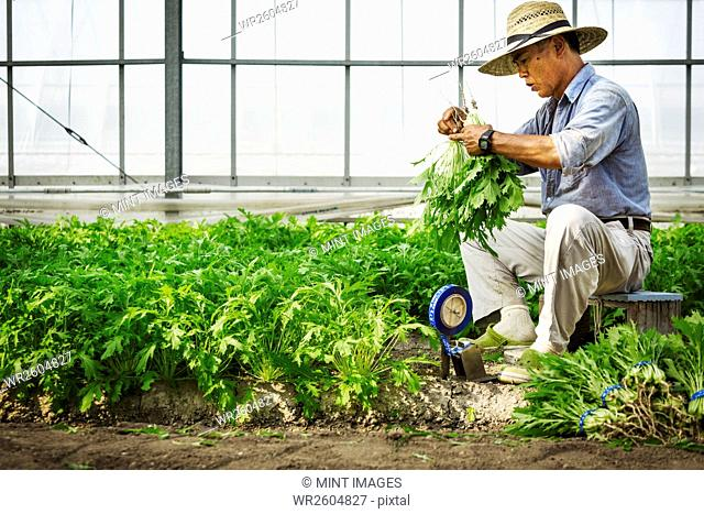 A man working in a greenhouse harvesting a commercial crop, the mizuna vegetable plant