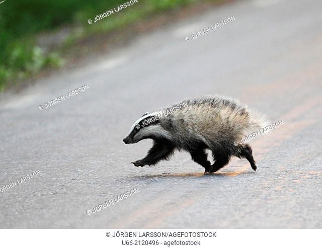 Badger (Meles meles), Bornsjön, Södermanland, Sweden