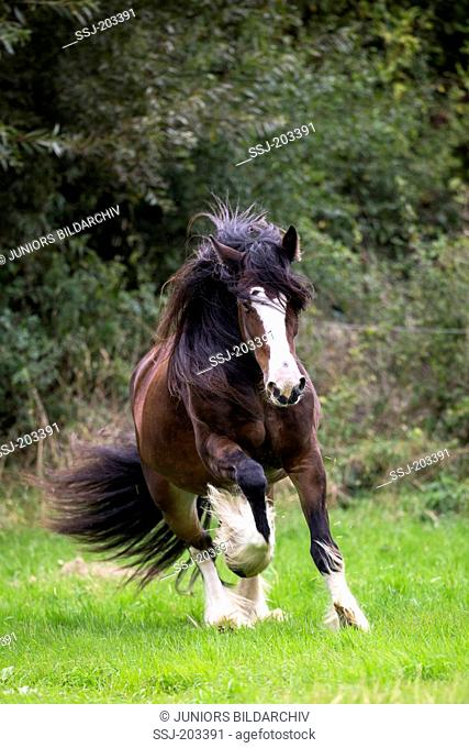 Shire Horse. Bay mare galloping on a pasture. Germany
