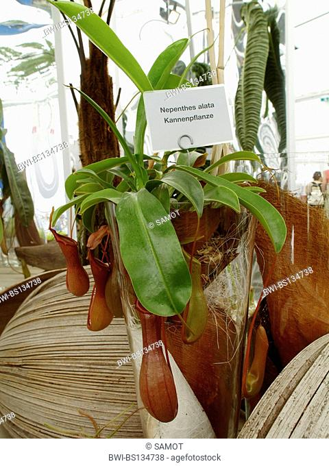 pitcher plant (Nepenthes alata), pot plant with name tag