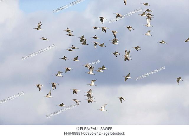 Eurasian Curlew (Numenius arquata) flock, flying, Suffolk, England, March