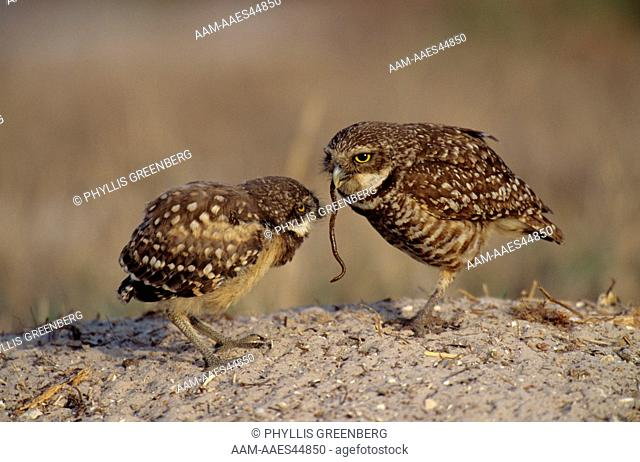 Burrowing Owl feeding Chick (Athene cuniccularia) Marco Island, Florida