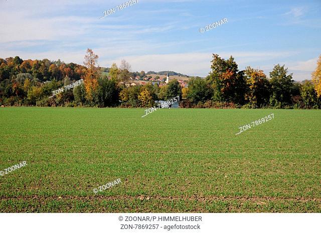 Triticum aestivum, Winterweizen, Wheat, nach der Keimung im Herbst