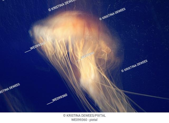 A bright poisonous Sea Nettle Jellyfish