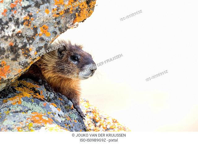 Yellow-bellied marmot (Marmota flaviventris), close-up, Yellowstone National Park, Wisconsin, United States, North America