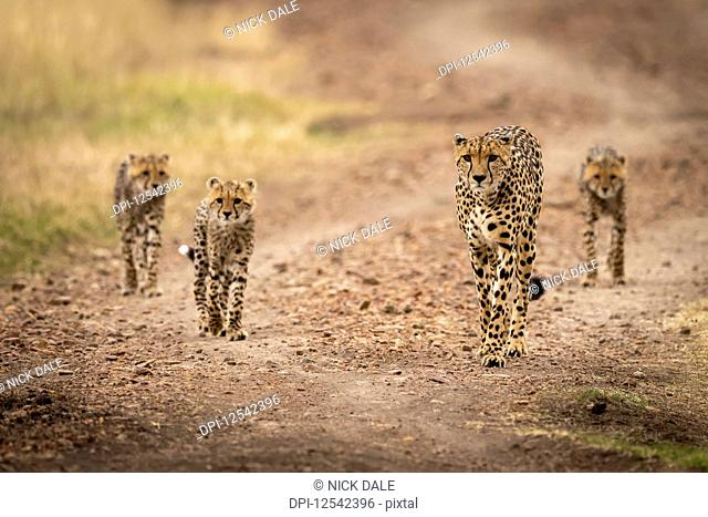 Cheetah (Acinonyx jubatus) and three cubs walk down road, Maasai Mara National Reserve; Kenya