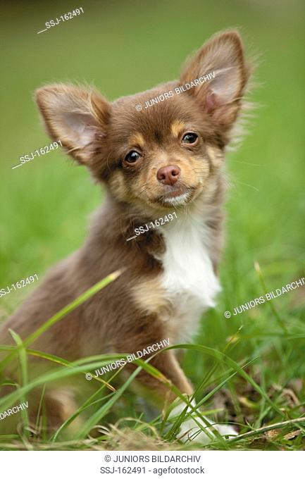 Chihuahua dog - puppy sitting on meadow