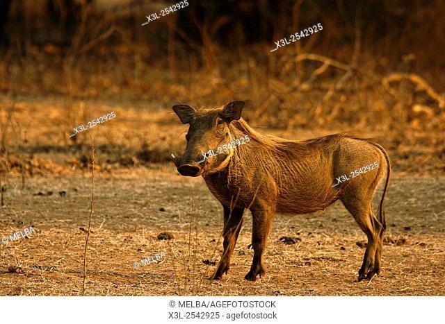 Warthog, Phacochoerus aeethiopicus kneeling to feed. Mana Pools National Park. Zimbabwe