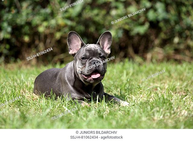 French Bulldog. Male puppy lying in grass while panting. Germany