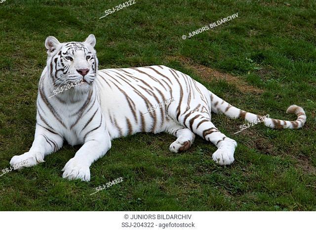 White Bengal Tiger (Panthera tigris). Adult lying on grass. Stukenbrock Safari Park, Germany