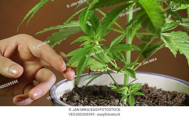 Detail of hand cutting off damaged cannabis leaf