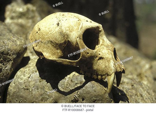 Baboon skull on a baobab, Tansania
