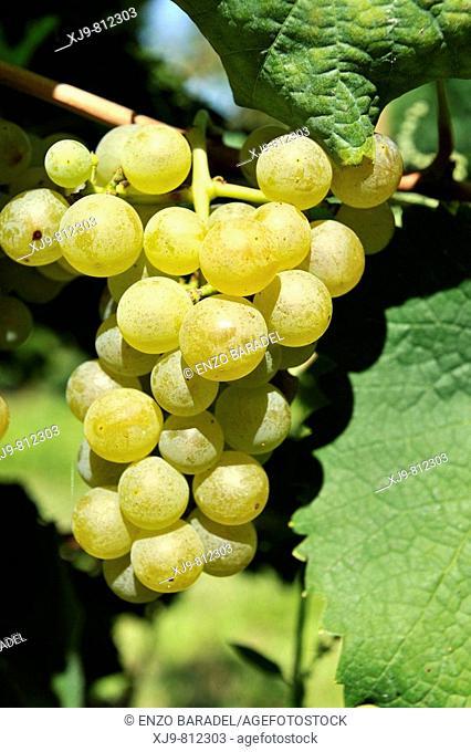 White grapes ready for harvest