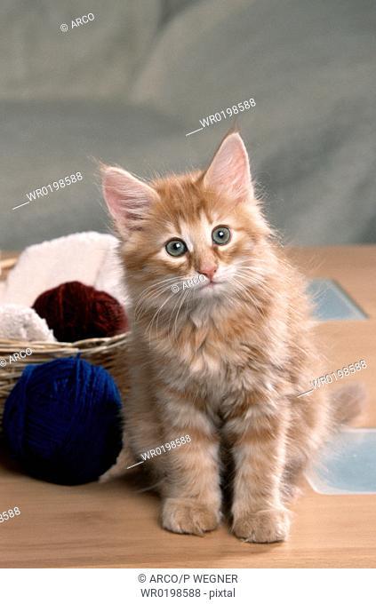 Norwegian, Forest, Cat, kitten