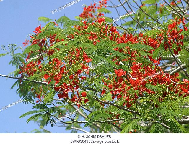 royal poinciana (Delonix regia), blooming tree, Canary Islands, Tenerife