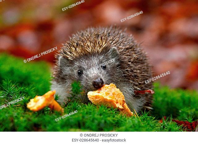 Cute European Hedgehog, Erinaceus europaeus, eating orange mushrooms