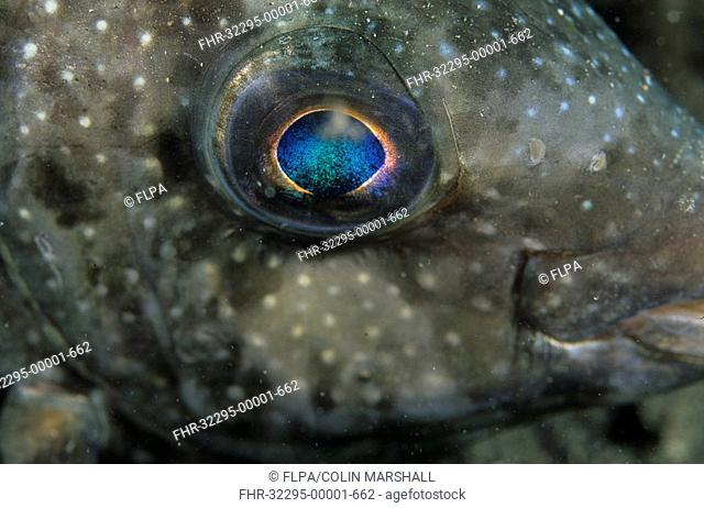 White-spotted Rabbitfish Siganus canaliculatus Close-up of eye - Jahir, Lembeh Straits, Sulawesi, Indonesia