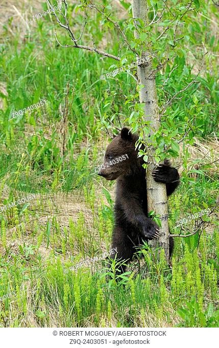 A tiny grizzly bear cub holding on to the safety of a small tree while looking away for any sign of danger