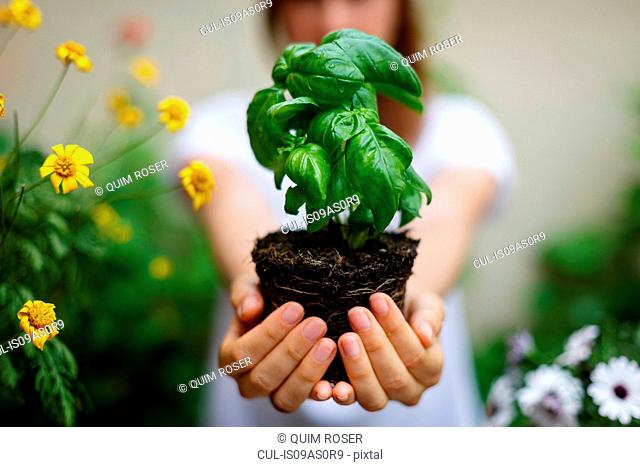 Cropped view of woman holding basil plant in cupped hands