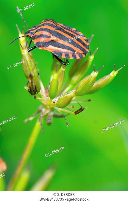 Italian Striped-Bug, Minstrel Bug (Graphosoma lineatum, Graphosoma italicum), sits on the infructescence of an umbellifer infructescence, Germany, Bavaria