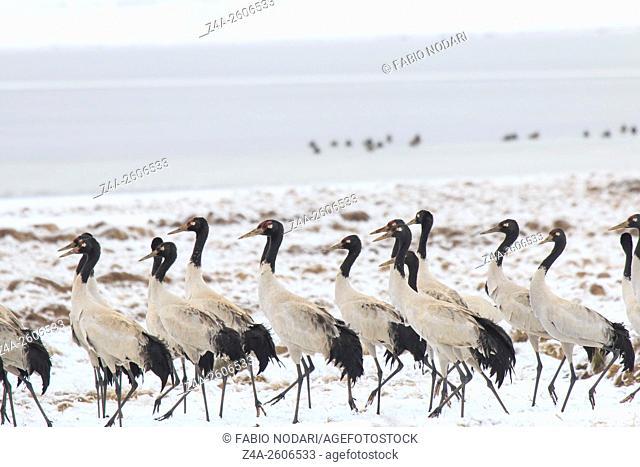 Black necked crane (Grus nigricollis) on Da Shan Bao in Yunnan China