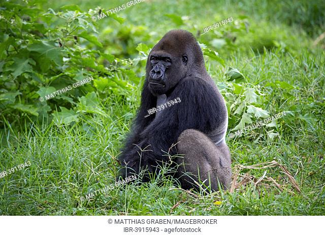 Western Lowland Gorilla (Gorilla gorilla gorilla) in reintroduction enclosure, captive, Limbe Wildlife Centre, Limbe, Region Sud-Ouest, Cameroon