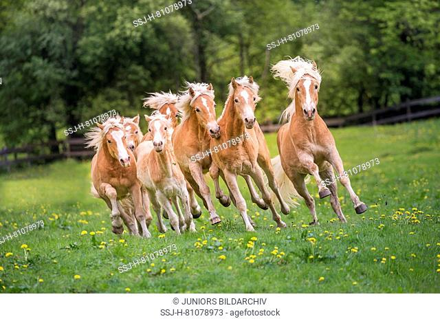 Haflinger Horse. Herd of juvenile stallions galloping on a meadow. South Tyrol, Italy
