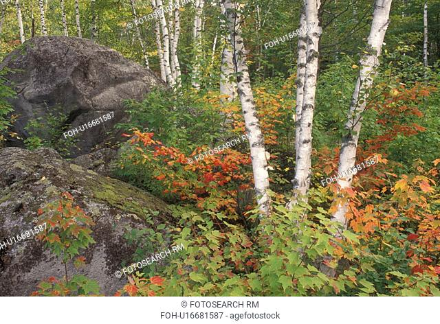 birch tree, fall, Groton State Forest, VT, Vermont, Birch trees and colorful fall foliage surrounds boulders in Groton State Forest in the autumn