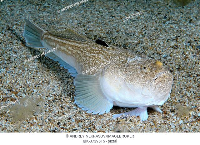 Atlantic Stargazer (Uranoscopus scaber), Black Sea, Crimea, Ukraine
