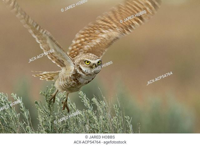 Burrowing Owl, Athene cunicularia, Ephrata, Washington, USA