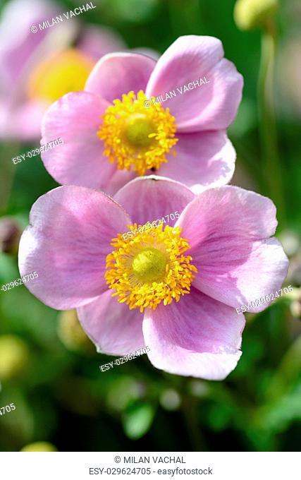 Anemone hupehensis japonica, Chinese anemone, Japanese anemone, thimbleweed, windflower in bloom
