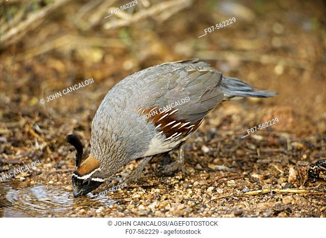 Gambel's Quail (Callipepla gambelii) - Drinking from temporary pool- Arizona - Male - Replaces the California Quail in the desert and similar to that bird - On...