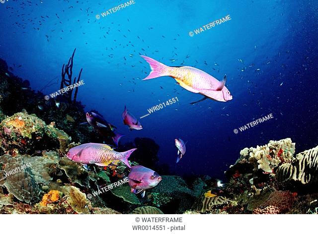 Creole Wrasses, Clepticus parrae, Caribbean Sea, Bonaire