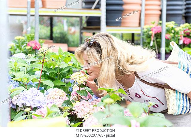 Mature woman smelling Hydrangea flowers in greenhouse, Augsburg, Bavaria, Germany