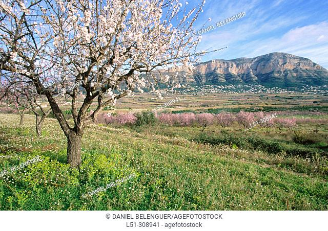 Almond trees in blossom. Javea. Montgo Natural Park. Alicante province, Spain